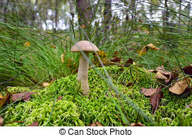 Stock Image of Boletus scaber (Leccinum scabrum) on the hummock.