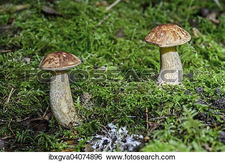 """Stock Images of """"Birch Bolete (Leccinum scabrum), mycorrhiza."""