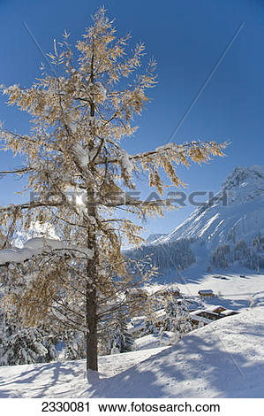 Stock Photography of Larch tree on polar landscape, Lech am.
