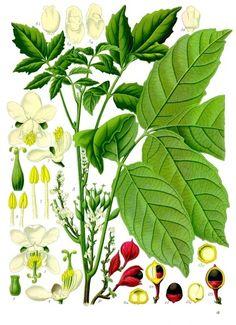 Glycyrrhiza glabra, Regaliz, Licorice.