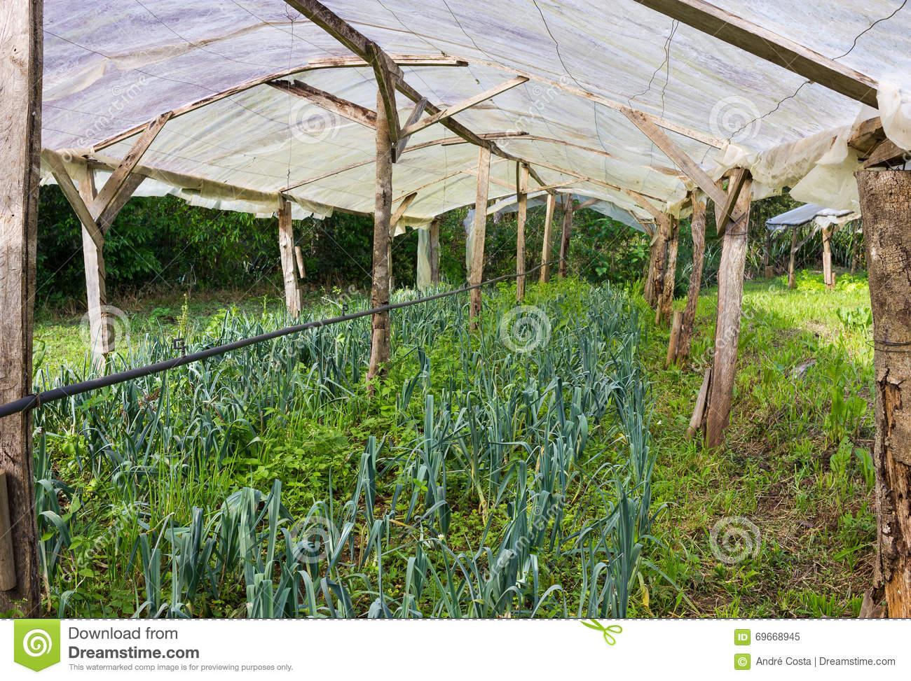 Organic Leek Plants Growing In A Very Simple Plant Nursery Green.