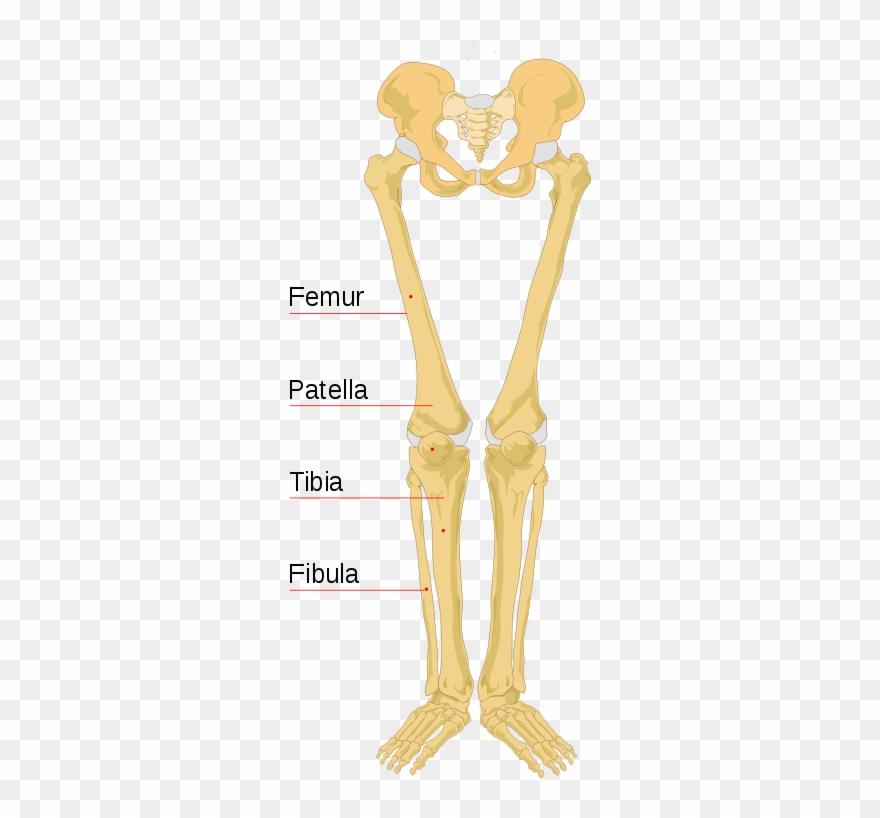 File Human Bones Labeled.