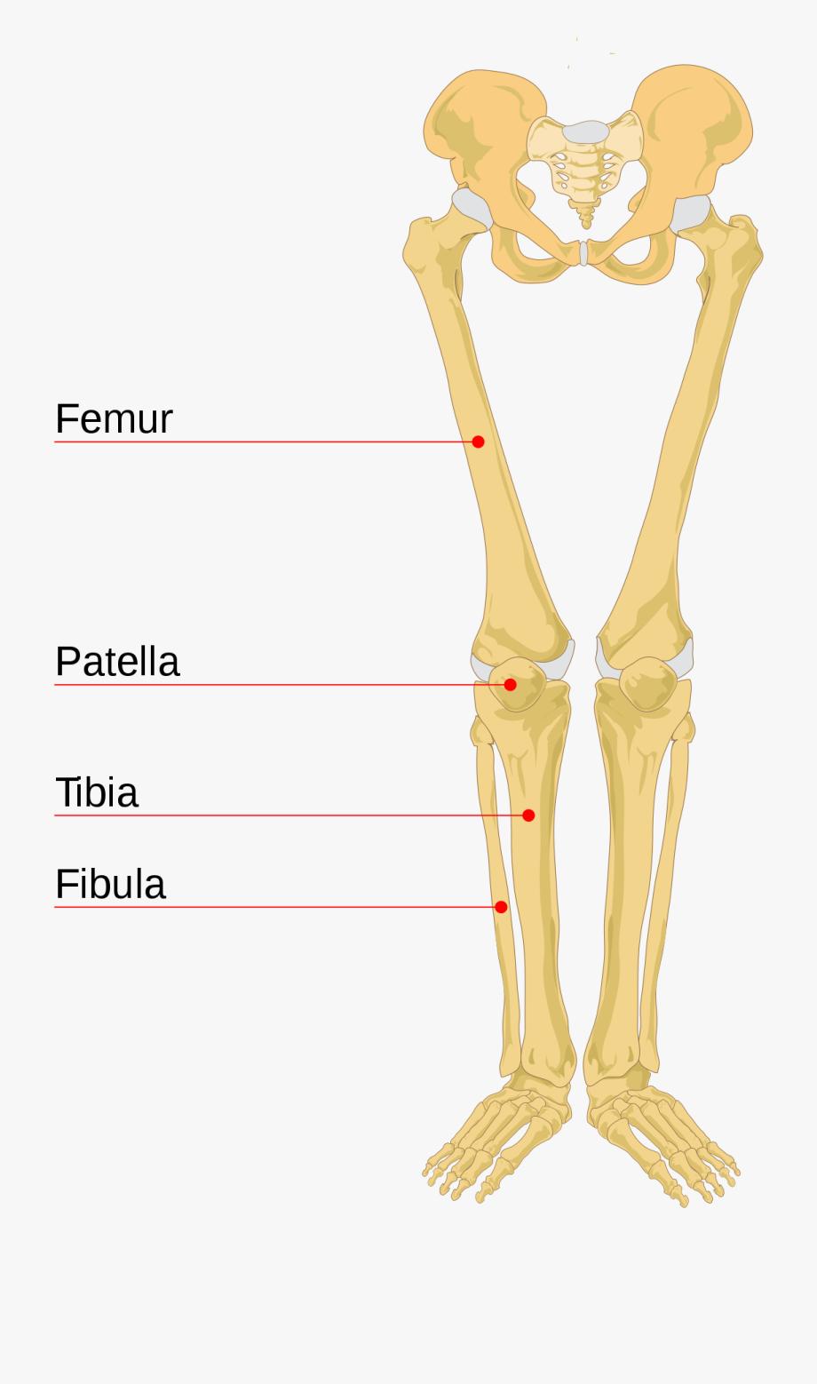 Leg Bone Wikipedia Leg Anatomy Diagram Legs Bones Diagram.