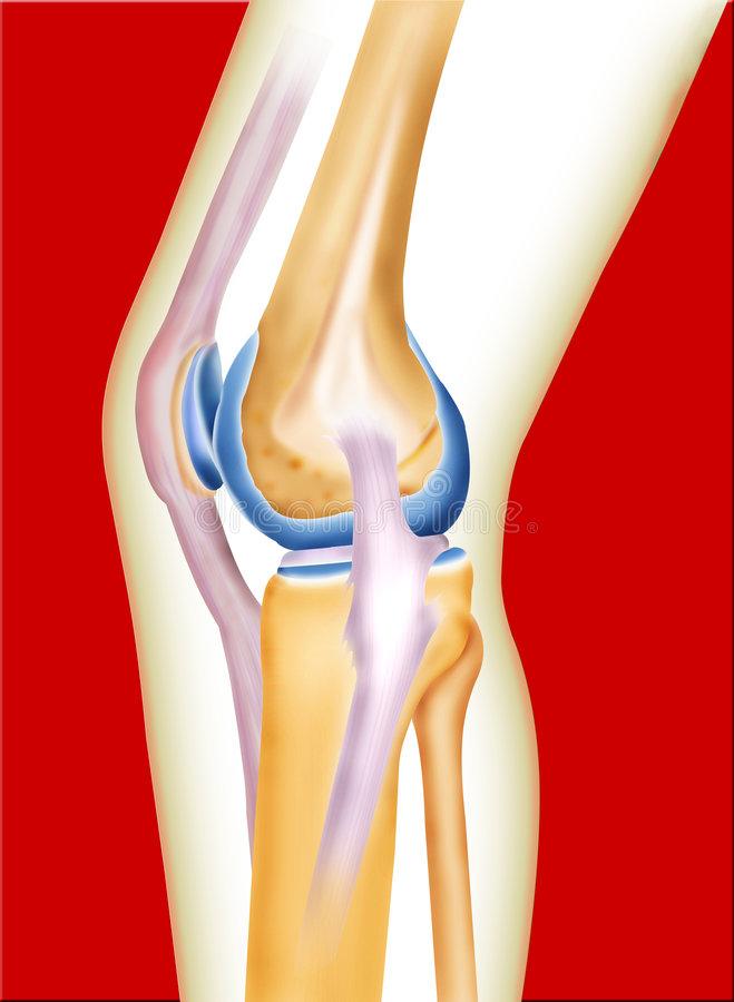 Bone Knee Stock Illustrations.