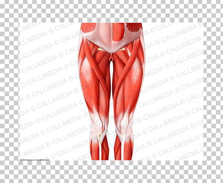 Finger Thigh Hip Human Leg Muscle PNG, Clipart, Abdomen.