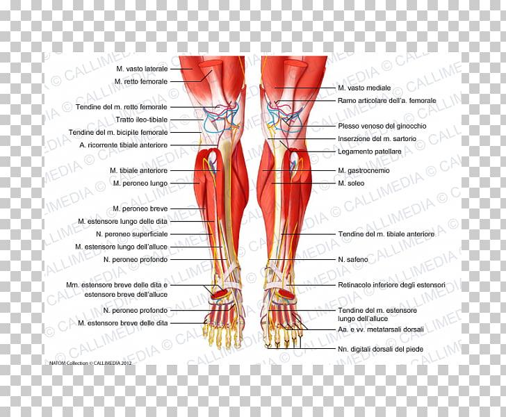 Crus Human anatomy Muscular system Human leg Muscle, rectus.