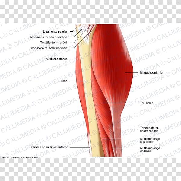 Thumb Human leg Muscle Thigh Foot, Gracilis Muscle.