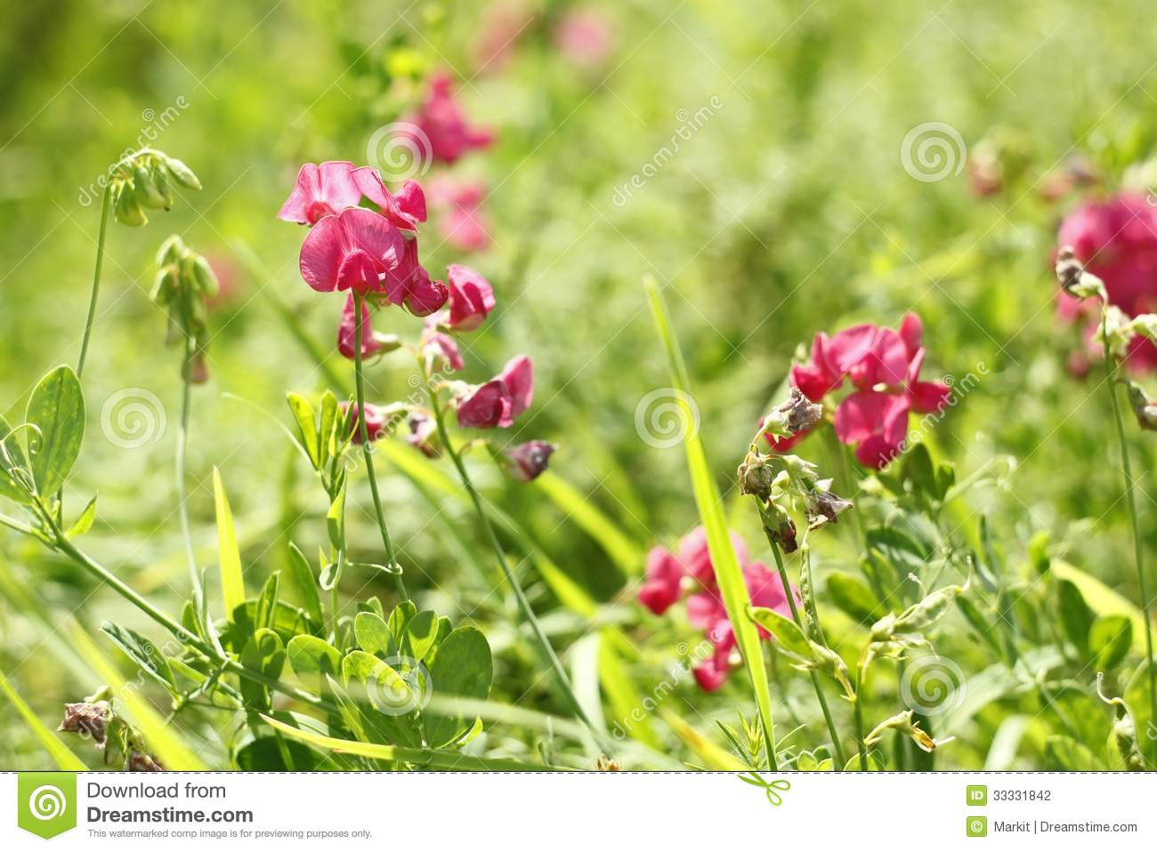 Red Flowers Of Leguminous Plant Stock Photography.