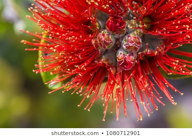 Ohia Lehua Images, Stock Photos & Vectors.