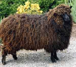 1000+ ideas about Sheep Breeds on Pinterest.