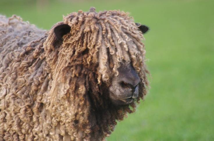 Meet the Sheep.