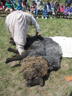 Leicester Longwool sheep.