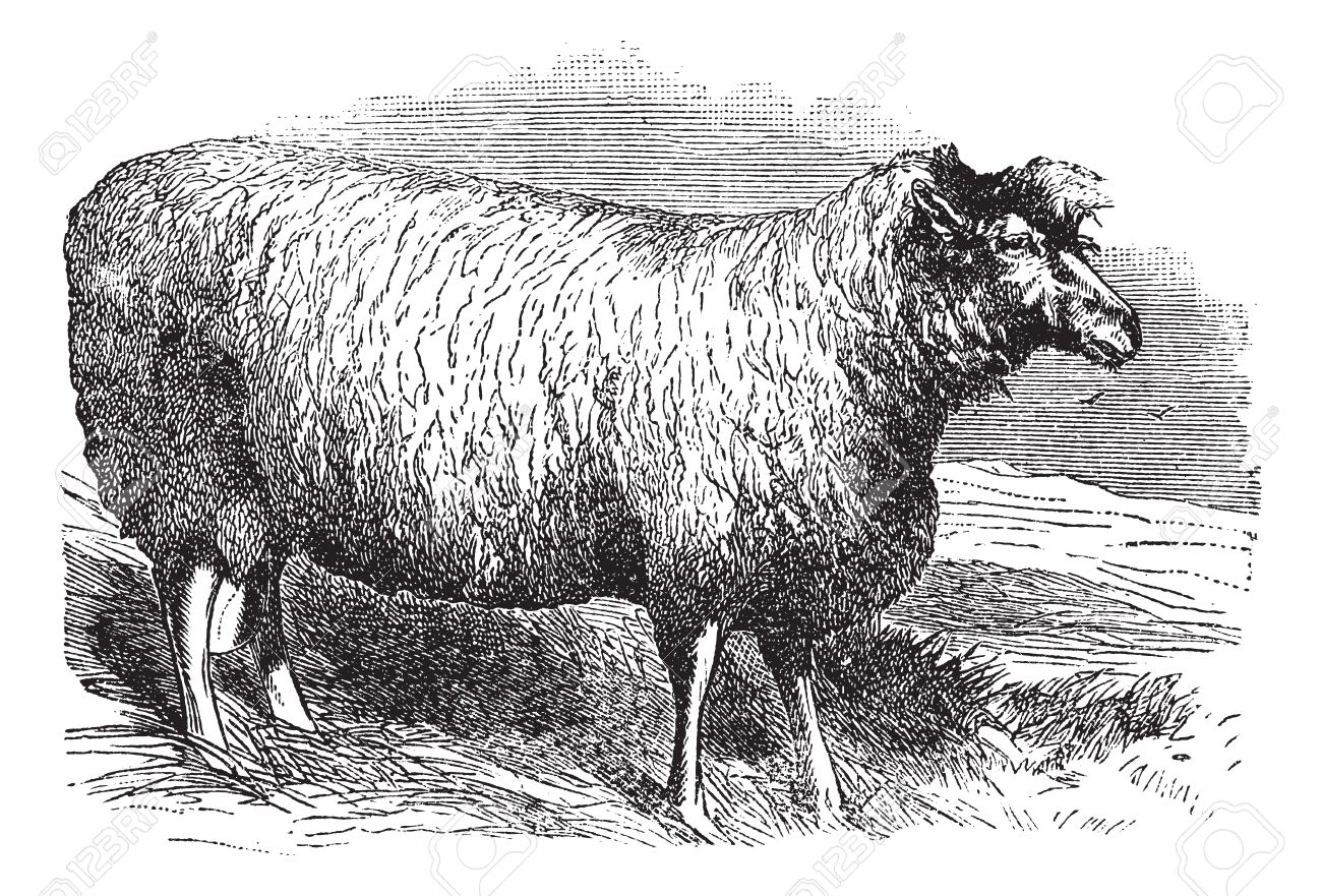 Leicester Sheep Or Bakewell Leicester Or Dishley Leicester Or.