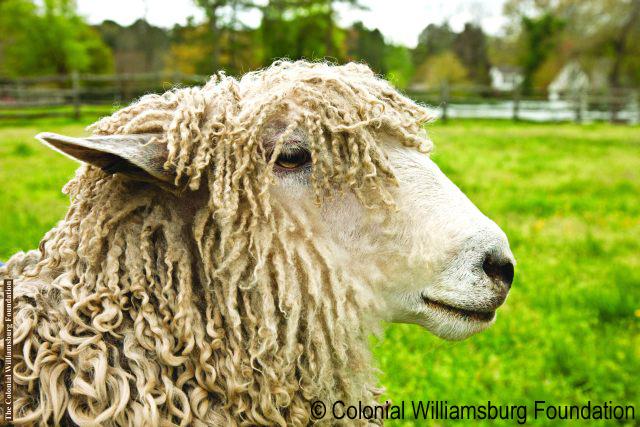 Gallery — Leicester Longwool Sheep Breeders Association.