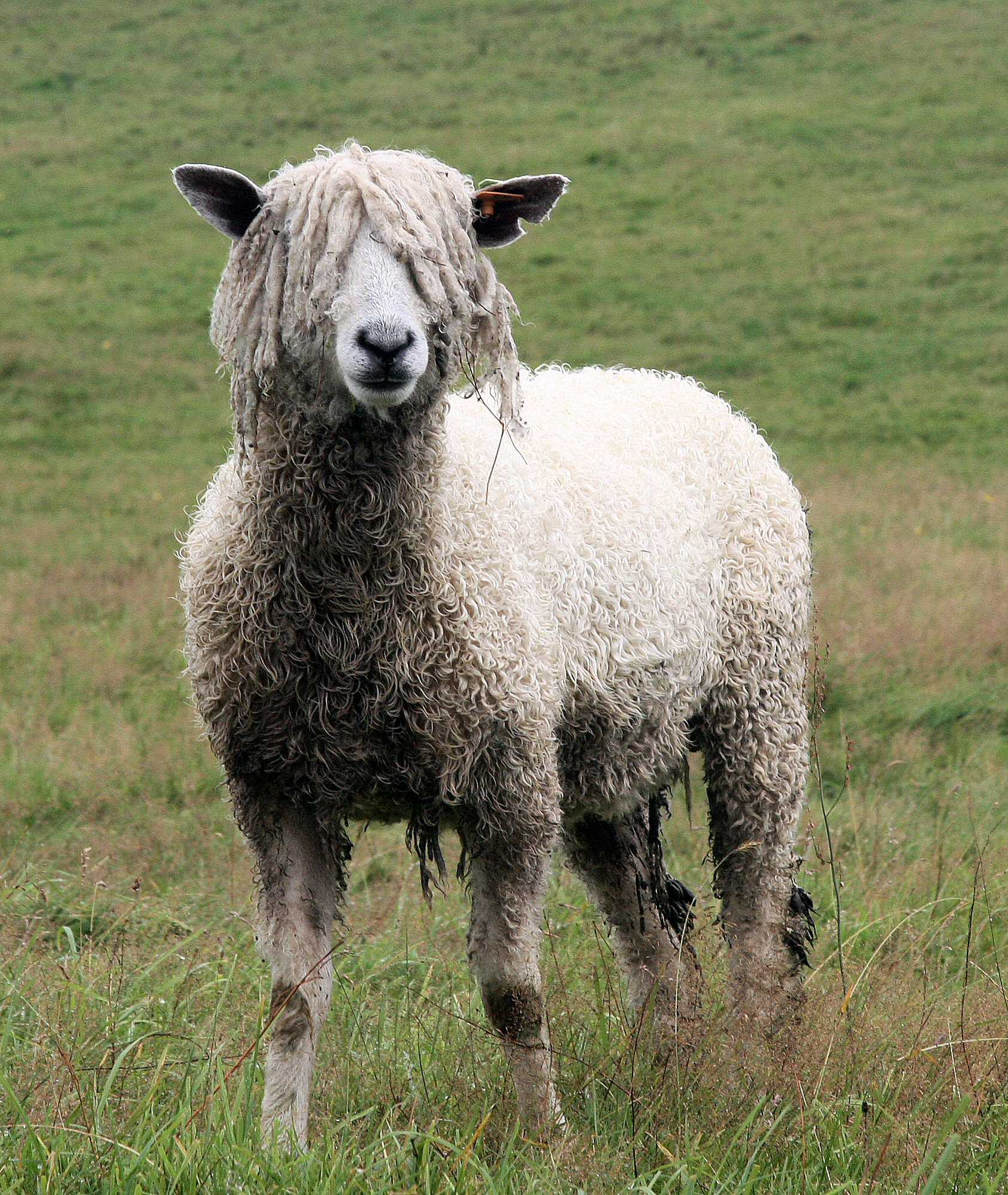 Sheep > Leicester Longwool.