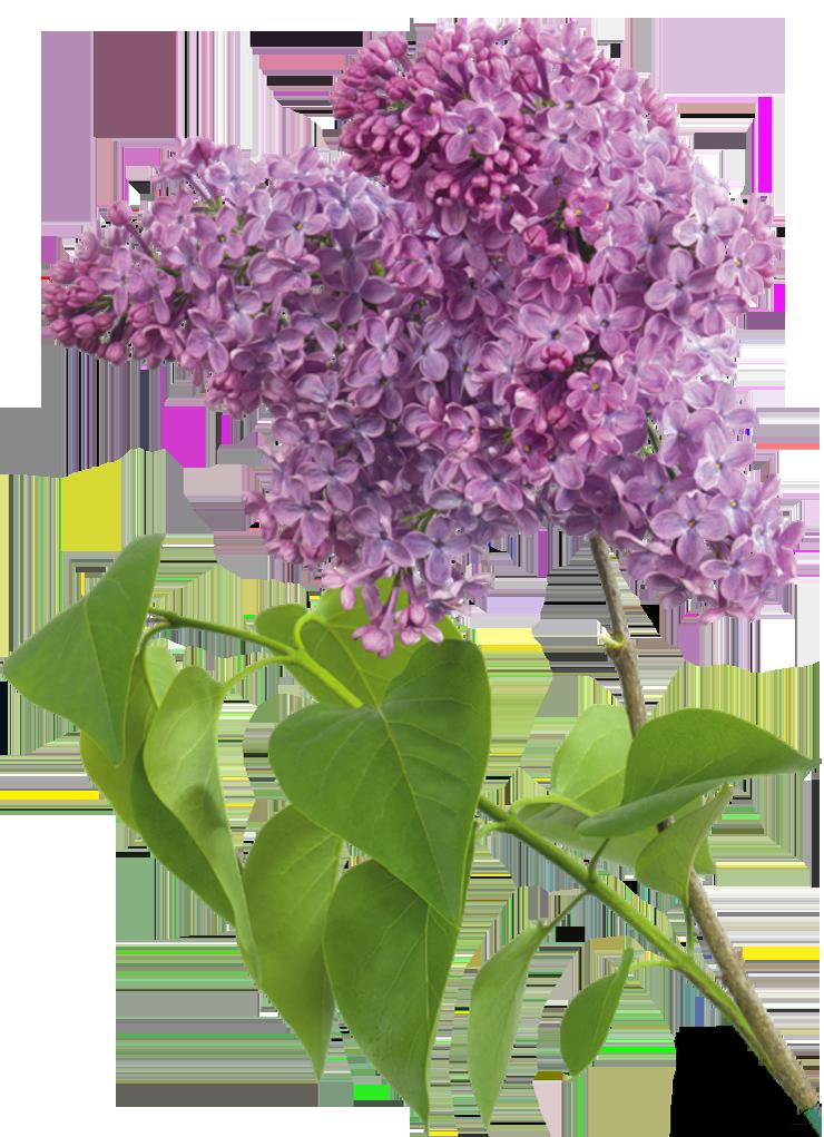 Purple_Transparent_Lilac_Clipart.png?m=1380664800.