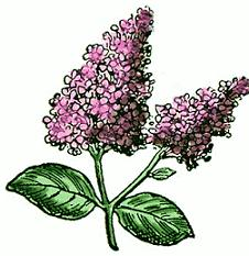Free Lilac Clipart.