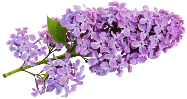 Lilac flower clipart #9