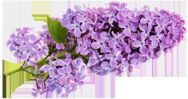 Clip Art Flowers Purple Lilacs Clipart.