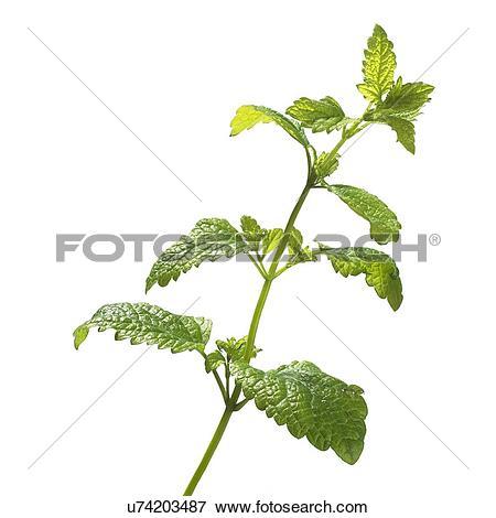 Picture of Lemon balm Melissa officinalis stem u74203487.