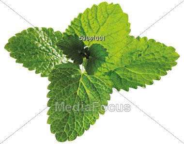 Stock Photo Fresh Lemon Balm Leaves Clipart.
