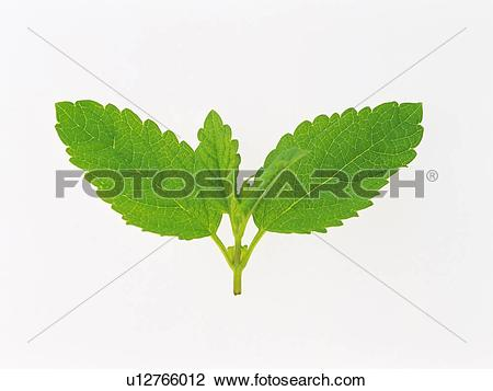 Stock Photo of Lemon Balm On a White Surface, Front View u12766012.