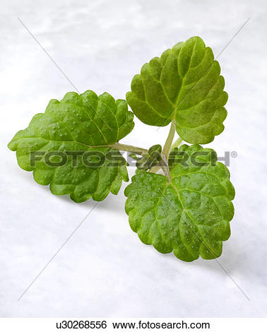 Stock Images of Sprig Of Lemon Balm u30268556.