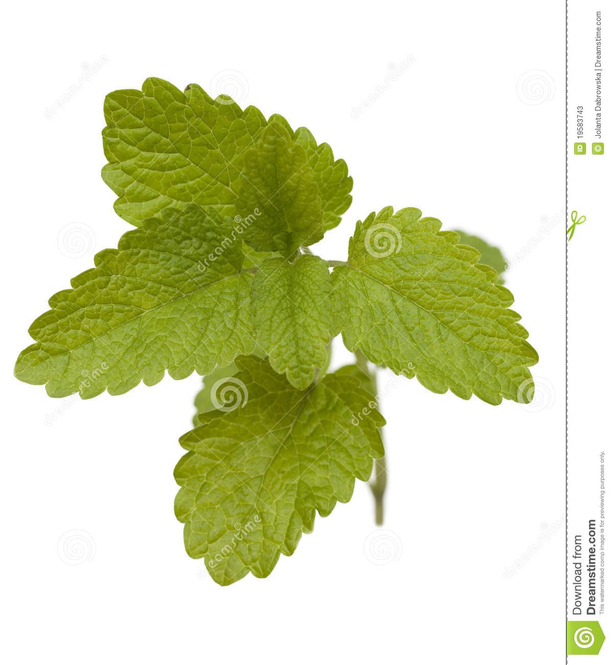 Lemon Balm Stock Photos.