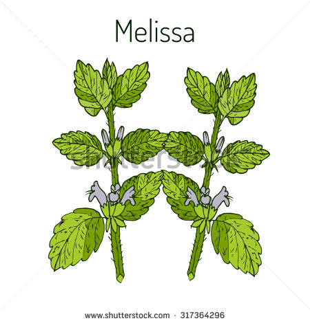 Lemon Balm Stock Vectors & Vector Clip Art.