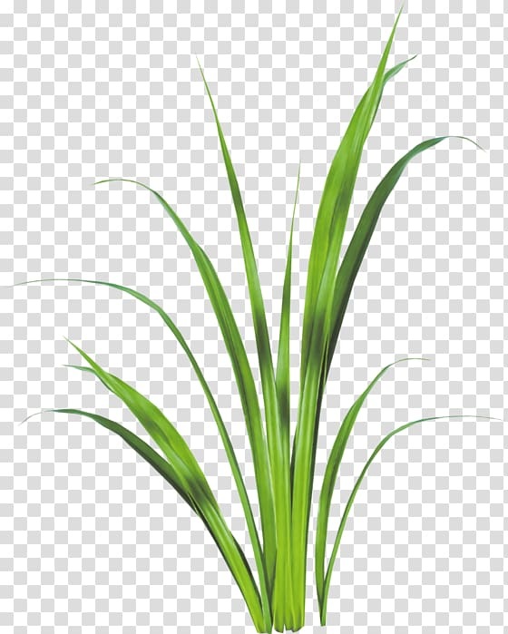 Sweet Grass Lemongrass Plant stem Leaf Aquarium, grass.
