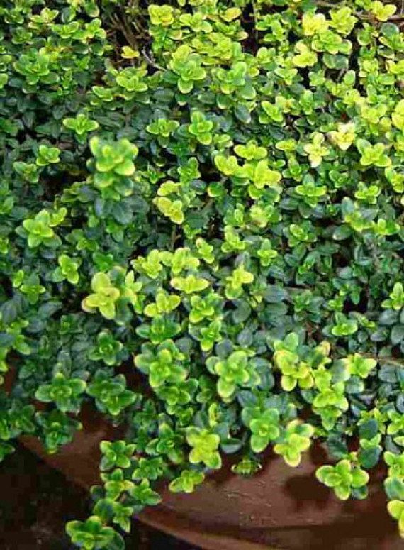 1000+ ideas about Thyme Plant on Pinterest.