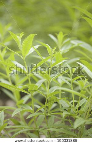 Lemon Verbena Stock Photos, Royalty.