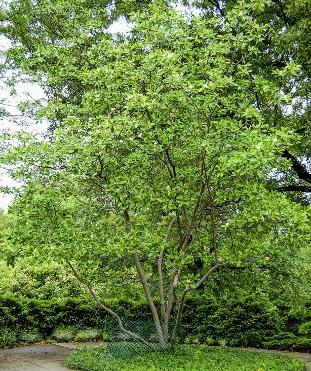 1000+ images about evergreen trees for privacy on Pinterest.