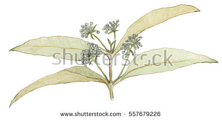 Lemon Myrtle Leaves Buds On Stem Stock Illustration 557679226.