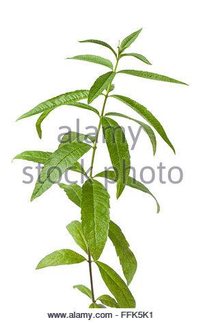 Lemon Scented Verbena Stock Photos & Lemon Scented Verbena Stock.