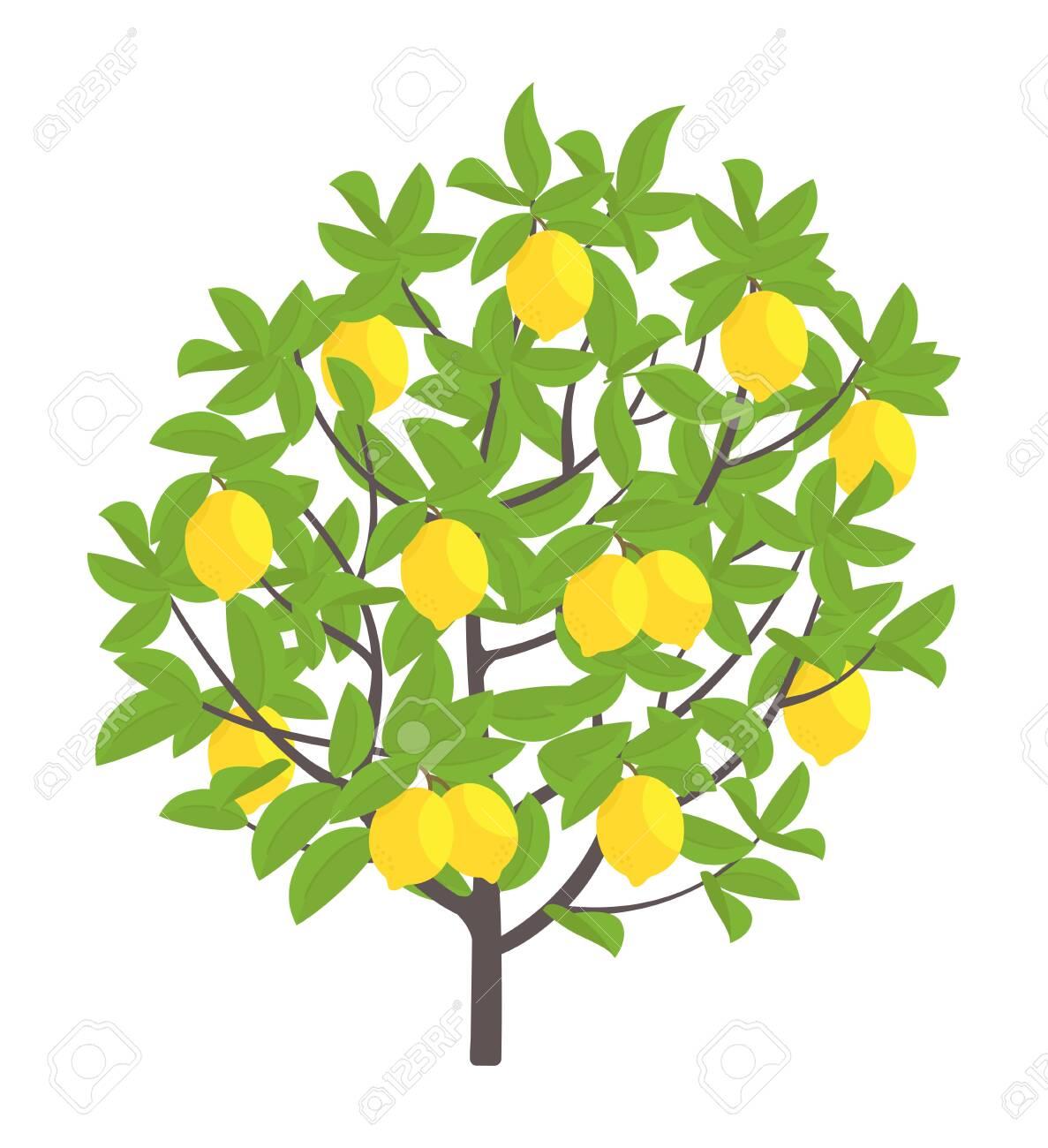 Lemon tree. Vector illustration. Fruit tree plant. Flat vector...
