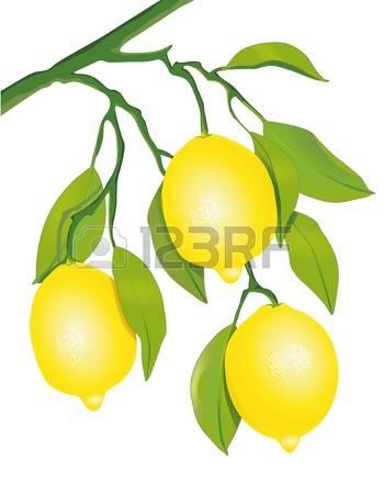 1,705 Lemon Tree Stock Illustrations, Cliparts And Royalty Free.