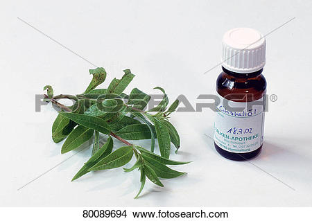 Stock Photo of DEU, 2003: Lemon Verbena, Herb Louisa (Aloysia.