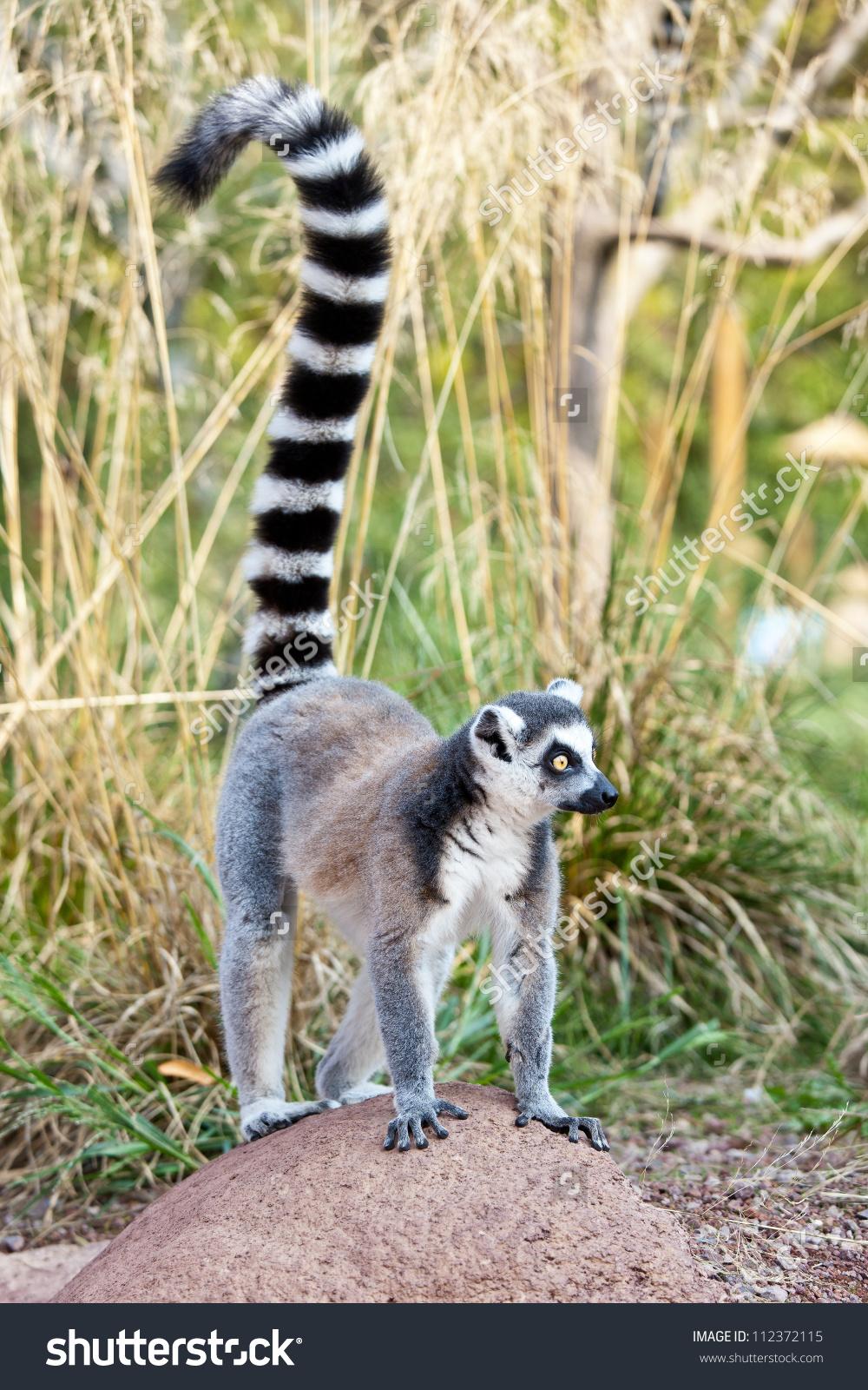 Ringtailed Lemur Lemur Catta Clade Strepsirrhine Stock Photo.