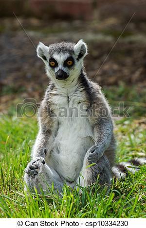 Stock Photos of lemur catta / Ring Tailed Lemur.