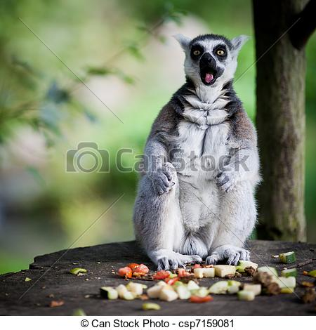 Stock Photography of Lemur kata (Lemur catta).