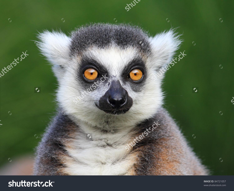 Closeup Portrait Lemur Catta Ring Tailed Stock Photo 84721057.