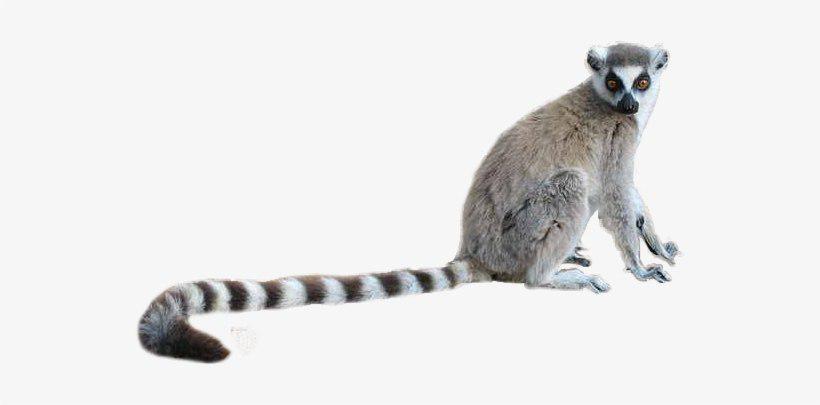 Lemur PNG Images Transparent Background.