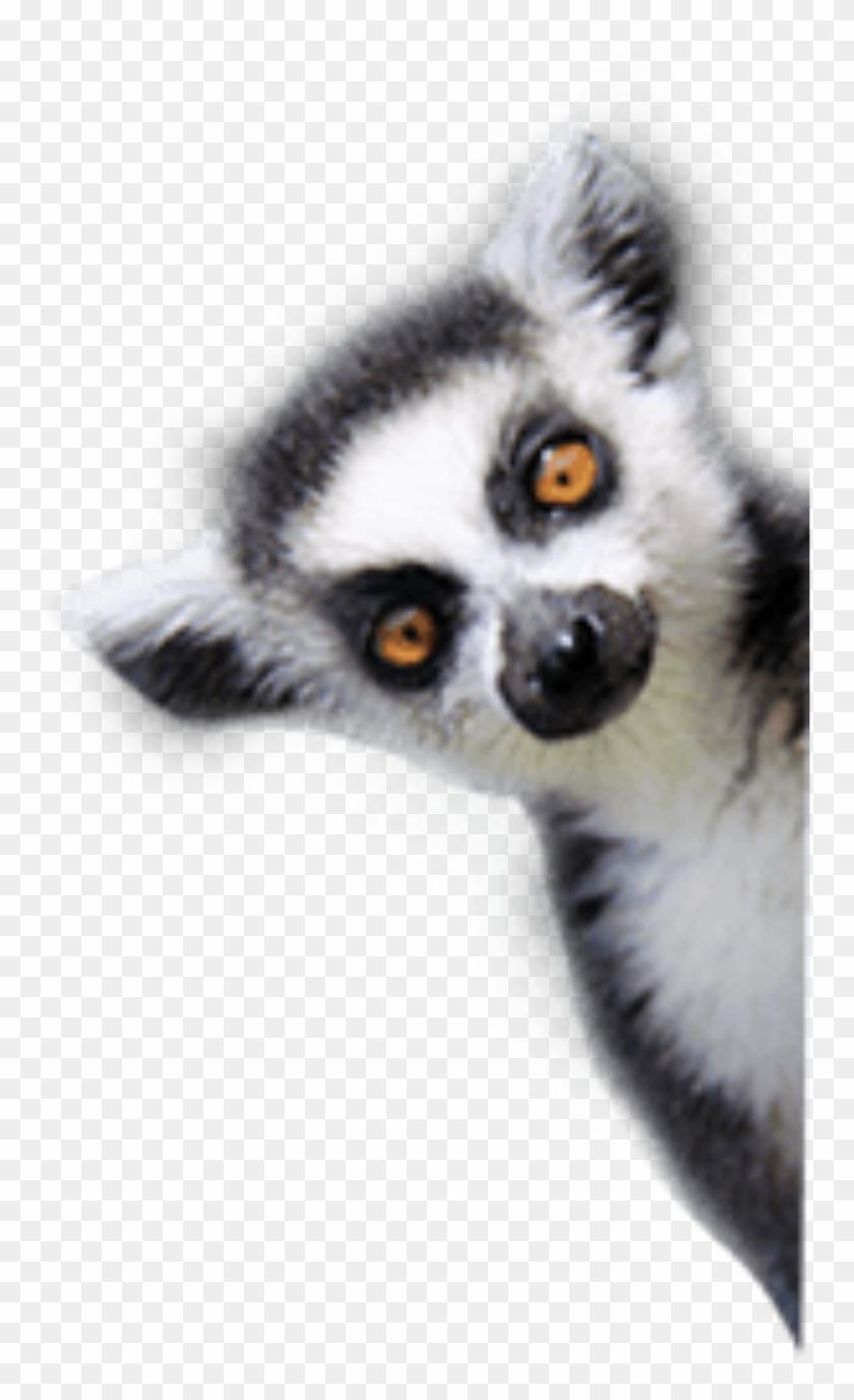 Lemurs , Png Download.