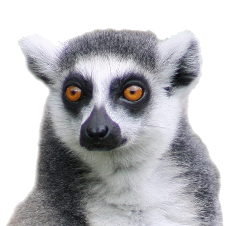Download Free png Lemur PNG, Download PNG image with.