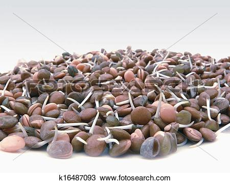 Stock Photo of Lentils with sprouts, Lens esculenta F, Red lentil.