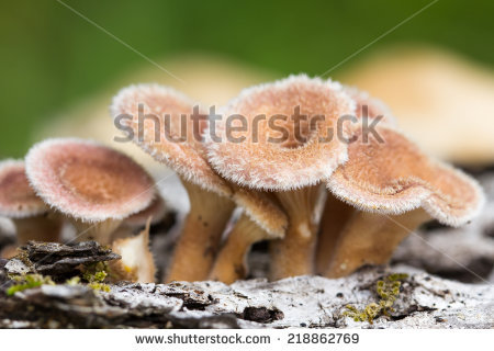Hairy Mushroom Stock Photos, Royalty.