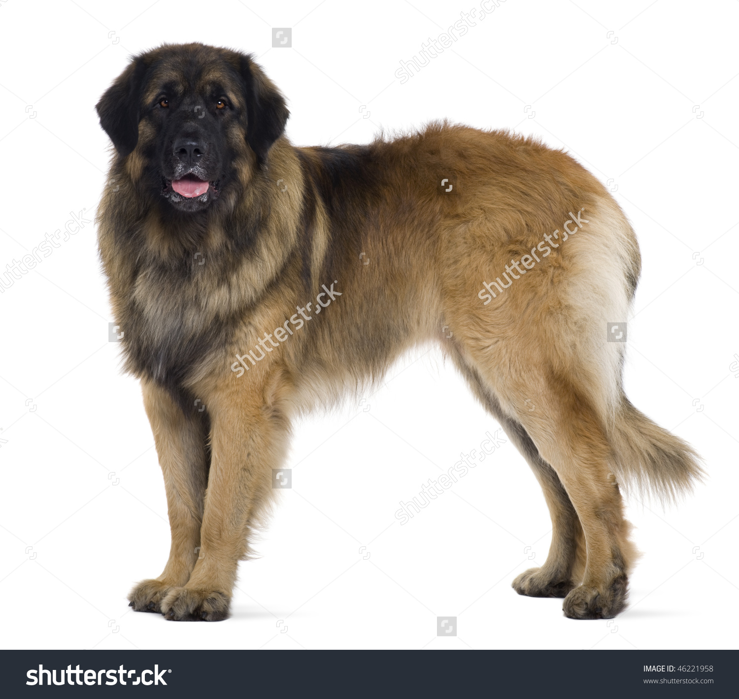 Leonberger Dog, 2 Years Old, Standing In Front Of White Background.