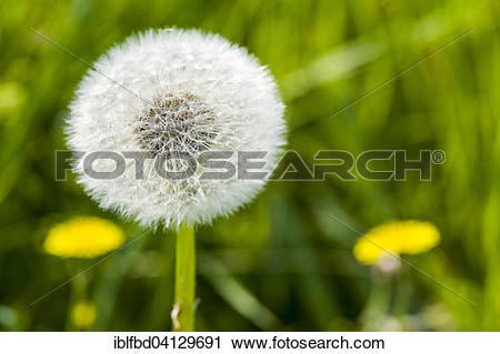 Stock Photography of Blowball, seeds of Rough Hawkbit (Leontodon.