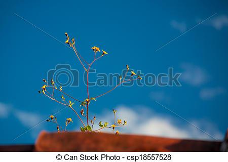 Stock Photo of Leontodon dandelion flower blossoming on tile roof.